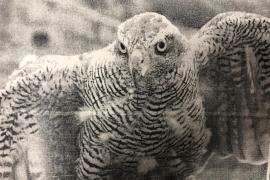 Condenados por tener cuatro cernícalos de forma ilegal en una finca de la Serra de Tramuntana