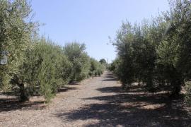 Ascienden a 228 los positivos por 'Xylella fastidiosa' en Ibiza