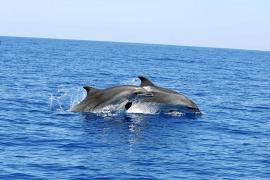 Crecen las interferencias de delfines con la pesca artesanal en aguas de Baleares