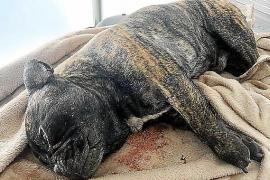Un dogo argentino entra en una casa de Marratxí, mata a un perro y ataca a otros tres