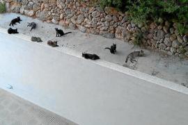 La invasión de los gatos en Cala Vinyes