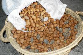 La producción de almendra aumenta un 20% en Mallorca durante 2011