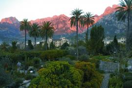 La plaga del picudo rojo amenaza ya las palmeras de Artà y Sóller