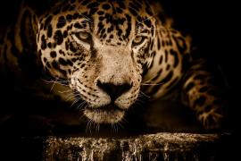 Una mujer herida al querer hacerse un selfi con un jaguar