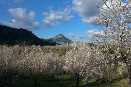 El Galatzó y almendros en flor