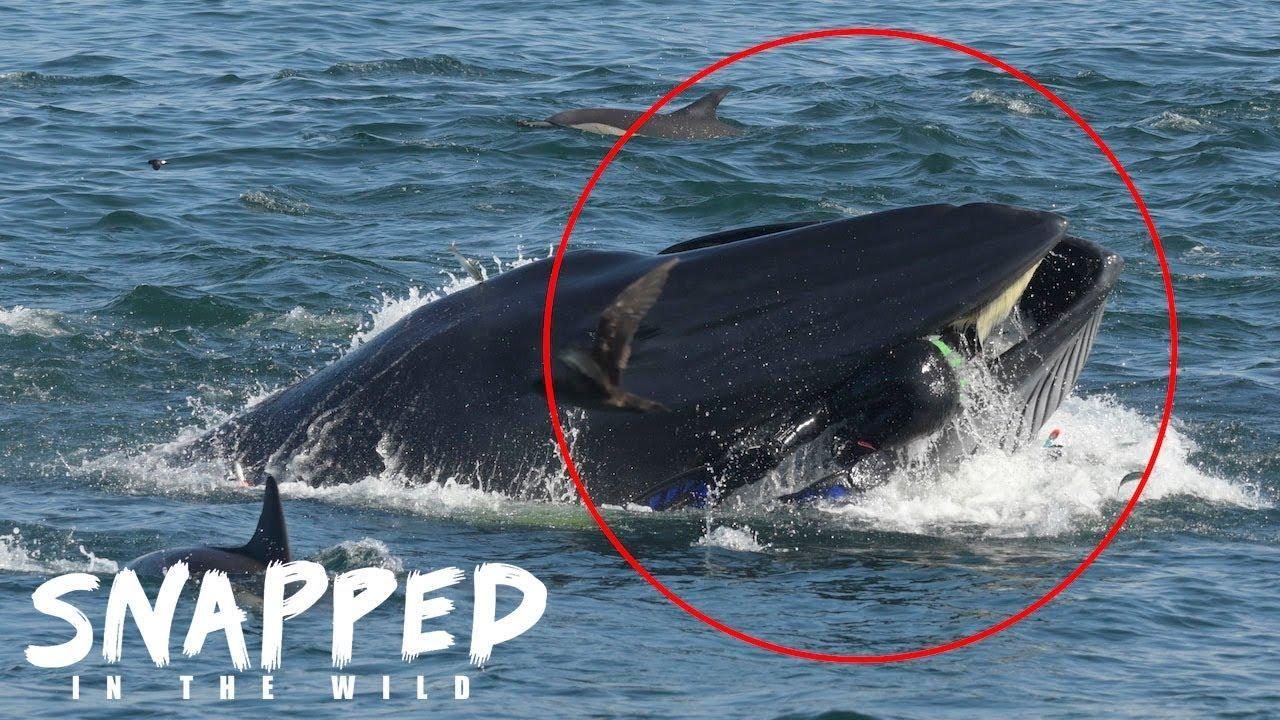 Un ballena se traga a un buzo y luego lo escupe