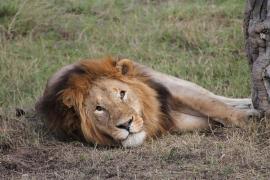 Un león 'fugitivo' pasa la noche en una celda