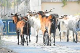 Los payeses de la Serra quieren vender carne de cabra salvaje para reducir su población