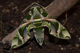 Identifican una nueva especie de mariposa nocturna en Baleares