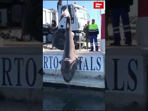 Hallado un tiburón muerto en aguas de Puerto Portals