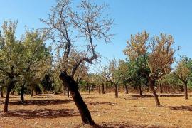 El sector agrícola viaja a California para aprender cómo combatir la 'Xylella'