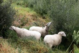 Tres ovejas ibicencas se unen a las cabras para limpiar la Necrópolis de Puig des Molins