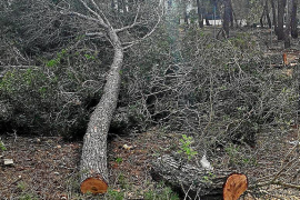 Los autores de la tala de Cala Vinyes deberán replantar los 24 pinos y pagar 63.700 euros
