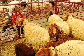 Éxito del gran concurso de oveja mallorquina en Calvià