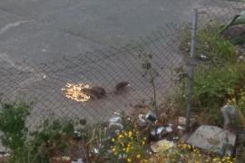 Ratas gigantes al lado de Carrefour