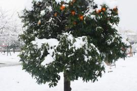 Naranjo nevado