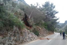 El viento arranca un pino en el Coll de Sóller