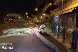 El viento tumba una palmera de madrugada en Palma