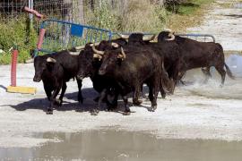 Un toro se escapa de una finca y embiste a tres patrullas de la Guardia Civil