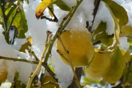 Limones nevados