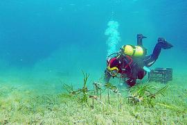 Un hito científico en Pollença para la repoblación de posidonia
