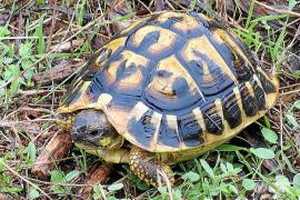 Las poblaciones de tortuga mora y mediterránea dejan de vivir aisladas