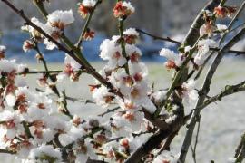 Flor d'ametller nevada