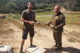 Sueltan en Calvià 211 ejemplares de tortuga mora