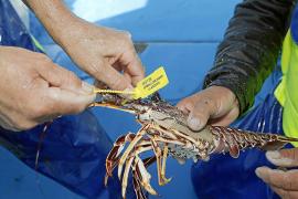 La temporada de pesca de langosta roja arranca con capturas superiores al 2018