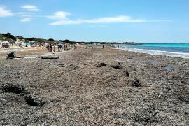 Ecologistas en Acción pide no limpiar los 'arribazones' de posidonia oceánica muerta