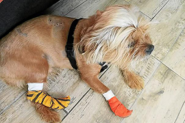 Denuncian el ataque de dos pitbulls a otro perro en Palma