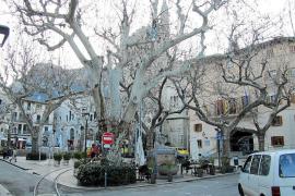 Los técnicos municipales dan por perdidos 10 de los 14 grandes árboles de la plaza de Sóller