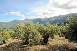 Preocupación en el sector olivarero de Sóller por el riesgo de que se pierda otra cosecha