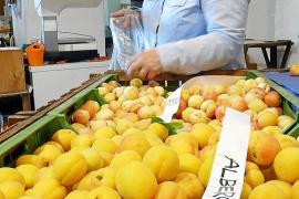 La producción de albaricoques disminuye un 75% en Porreres con respecto al año pasado