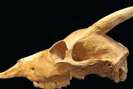 Detectan parentesco entre una cabra actual del Himalaya y el 'Myotragus'
