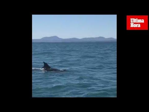 Avistan un delfín en Alcúdia