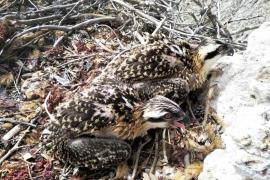 Anillan a dos águilas pescadoras en el Parque Natural de la Península de Llevant