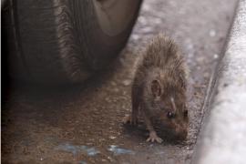 Estampida de ratas en Palma