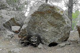 Catorce municipios detectan la presencia de ejemplares de mapache en Mallorca
