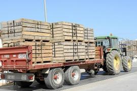 Sa Pobla empieza la exportación de patata con una previsión del 30% de la cosecha perdida