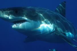Un tiburón blanco mata a una turista en Bahamas
