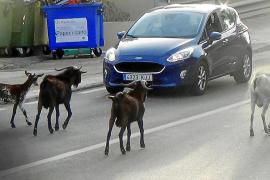 Cabras en la carretera en Andratx