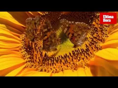 Mariposas en Mallorca: un viaje de 12.000 kilómetros