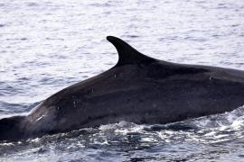 Japón vuelve a la caza comercial de ballenas 30 años después