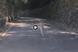 Avistan una cría de gamo en la carretera Puigpunyent-Esporles