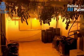 Desmantelan una plantación de marihuana en un edificio 'okupado' en Palma
