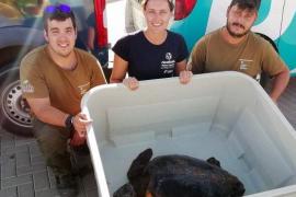 Baleària lleva a la tortuga rescatada en Es Freus hasta el Palma Aquarium
