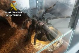 La Guardia Civil descubre un criadero con más de 400 tarántulas venenosas