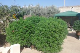 Detenido por una plantación de marihuana en Campos