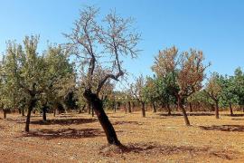 La plaga de la 'Xylella' se extiende y ya afecta a más de 900 árboles